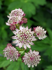 Masterwort (Astrantia major 'Abbey Road')