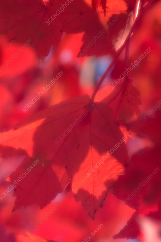 Red maple leaves (Acer rubrum)