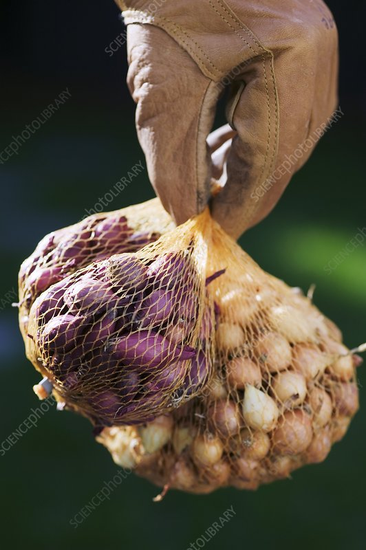 Gardener holding onion sets