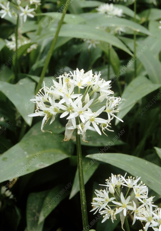 Wild garlic (Allium ursinum)