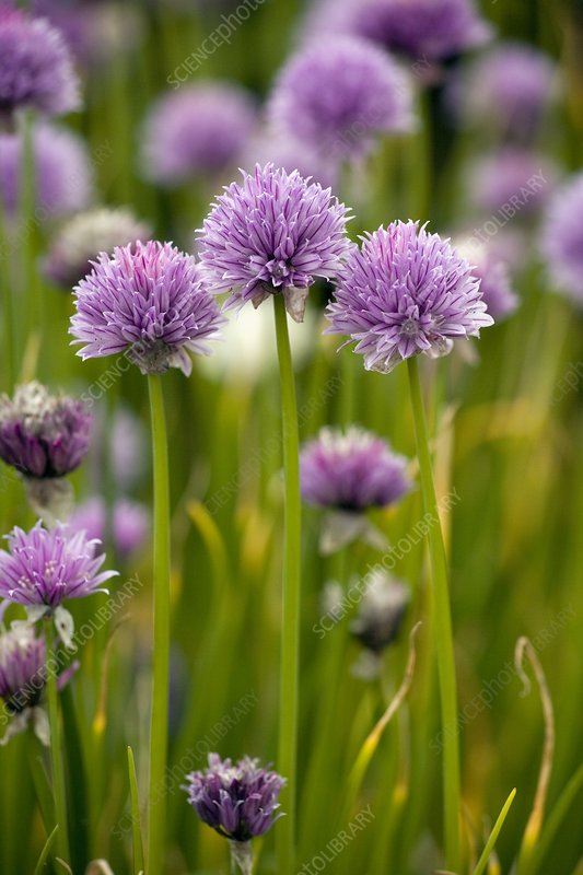 Chives, in flower (Allium schoenoprasum)