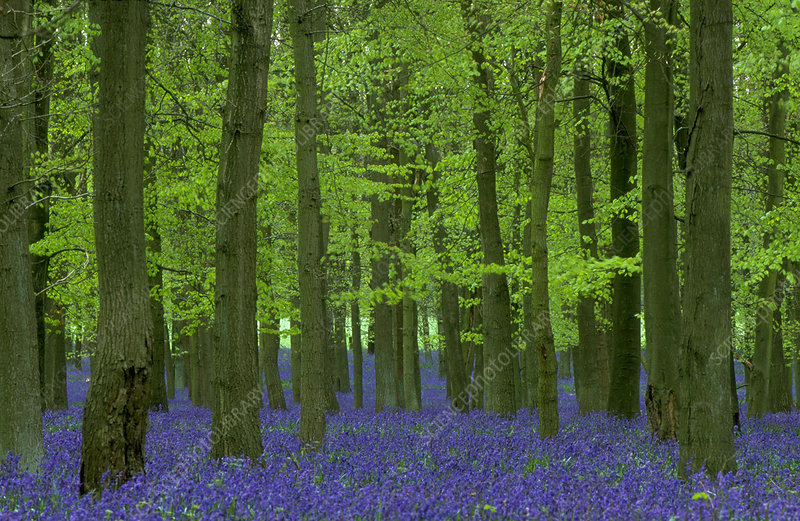 Bluebell Wood.