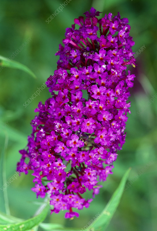 Buddleja davidii NANHO PURPLE.
