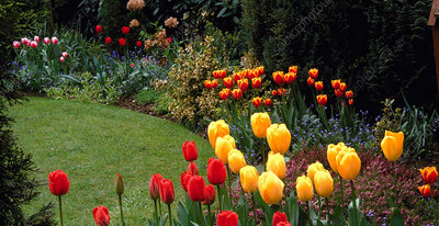Border scene in private Garden with Tulip