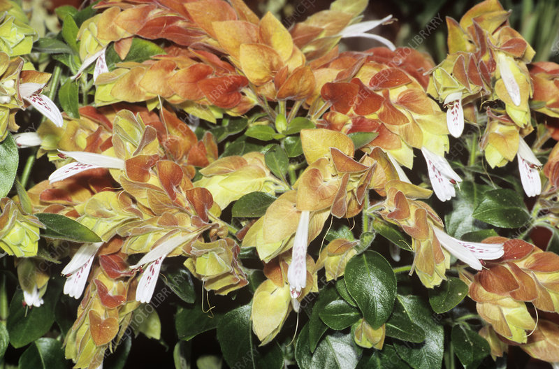 Shrimp plant (Beloperone guttata)