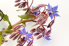 Borage, Borago officinalis, flowers