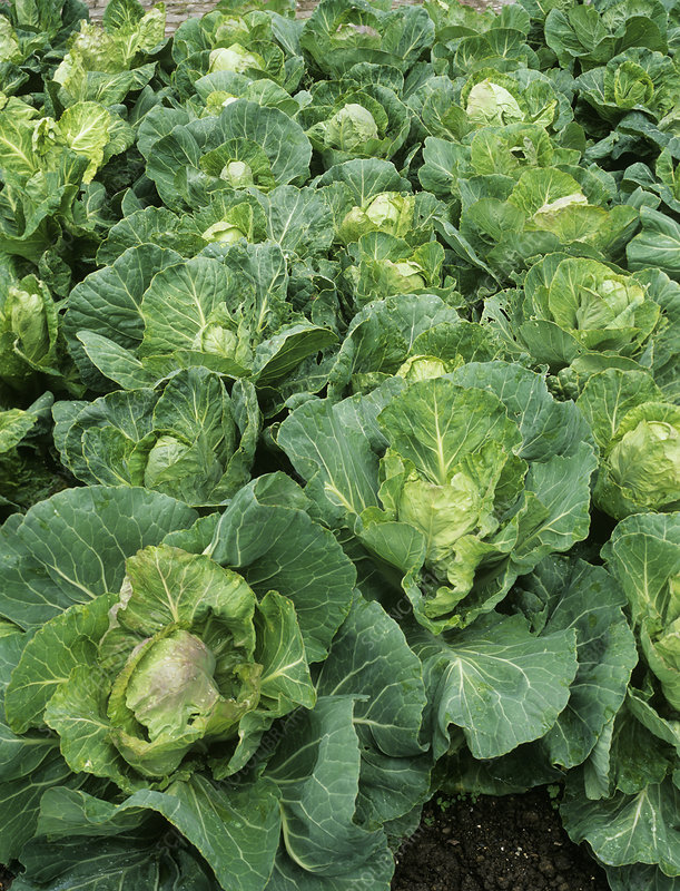 Cabbage (Brassica 'Golden Acre Primo II')