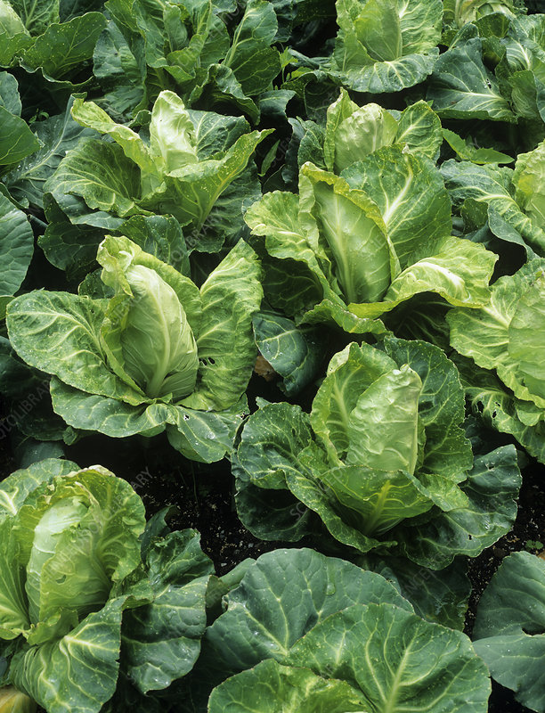 Cabbage (Brassica 'Greyhound')