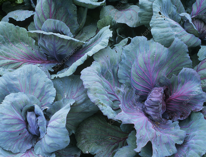 Cabbage (Brassica 'Red Flare')