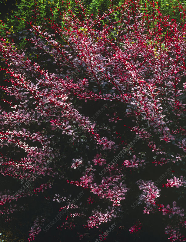 Barberry, Berberis thunbergii 'Rose Glow'