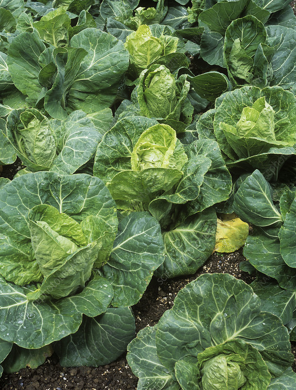 Cabbages (Brassica oleracea 'Pixie')