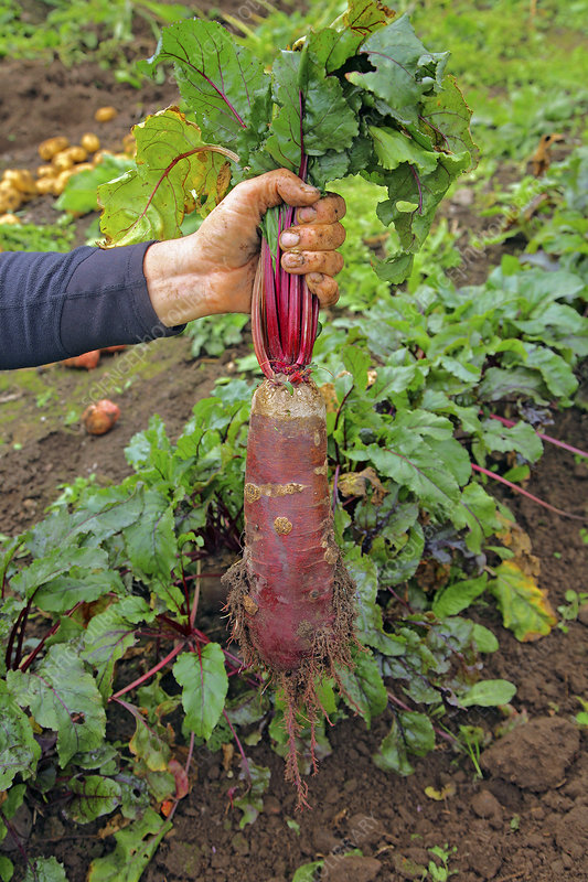 Beetroot (Beta vulgaris 'Cylindra')