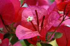 Bougainvillea flowers (Bougainvillea sp.)