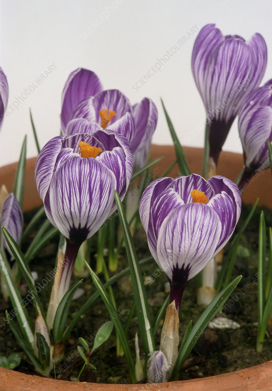 Crocus vernus PICKWICK.