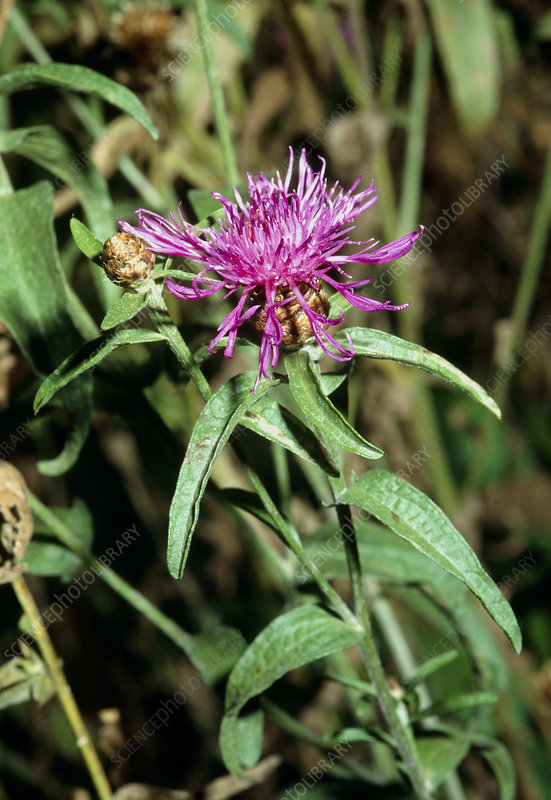 Brown-rayed Knapweed