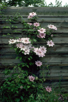 Clematis Nelly Moser.