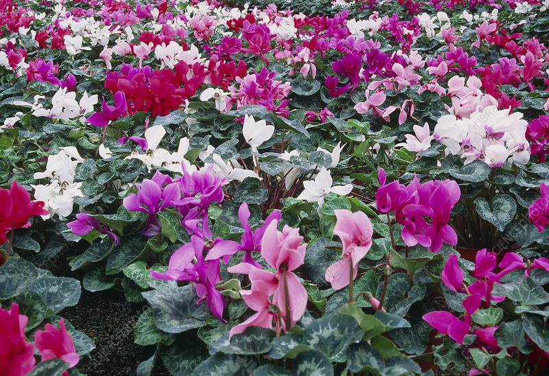 Cyclamen (Mixed).