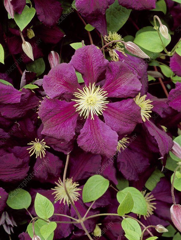 Clematis Blue Belle