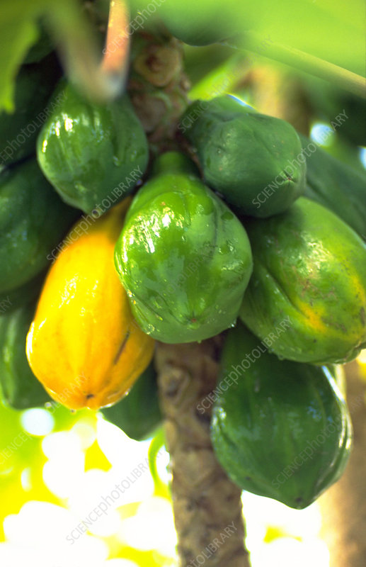 Carica papaya.
