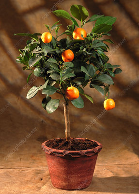 Citrus microcarpa HP.