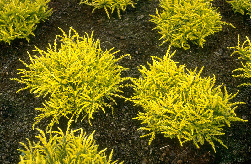 Calluna vulgaris DARTS GOLD.