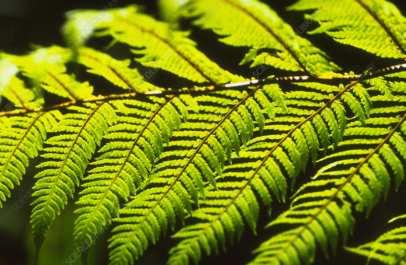 Cyathea Tree fern.