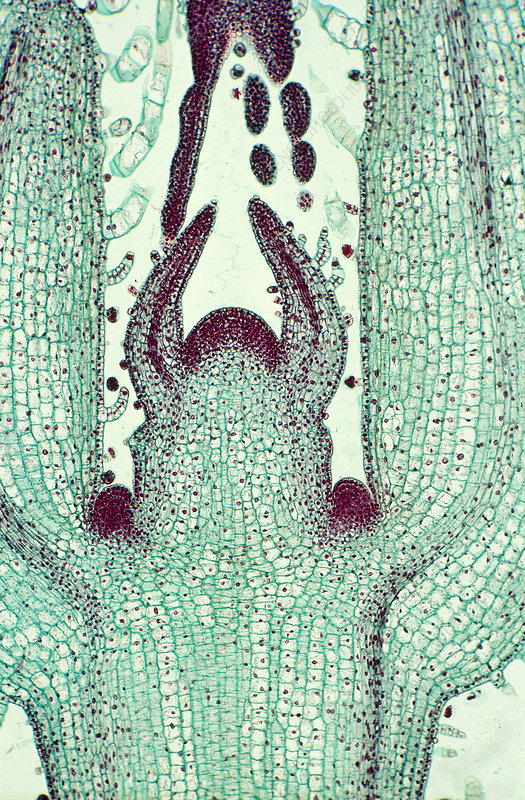 Coleus blumei stem and bud, micrograph