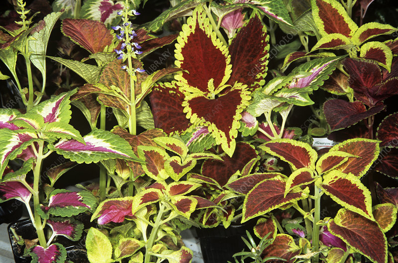 Flame nettle (Coleus sp.)