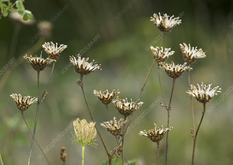 Greater knapweed seed heads