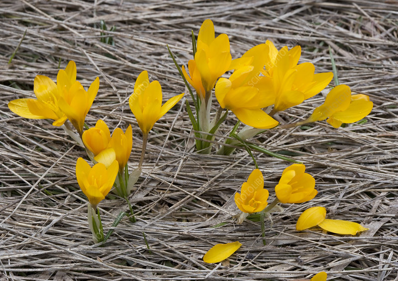 Mountain crocus (Crocus olivieri)