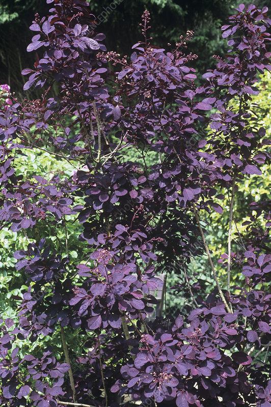 cotinus coggygria 39 royal purple 39 stock image b804 4033. Black Bedroom Furniture Sets. Home Design Ideas