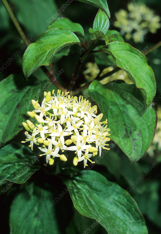 Common dogwood (Cornus sanguinea)