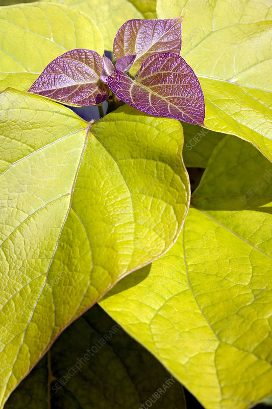Golden Indian bean tree leaves
