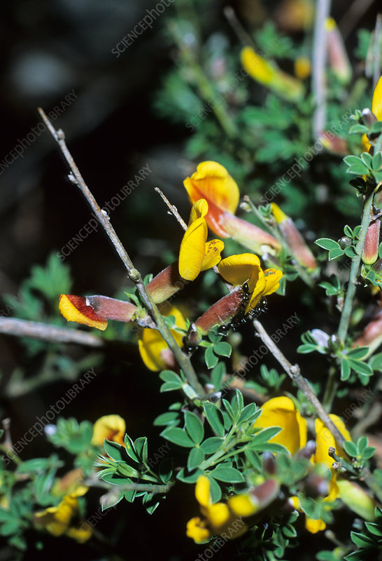 Chamaecytisus spinescens