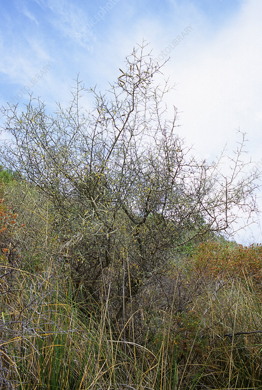 Thorny broom (Calicotome spinosa sp.)