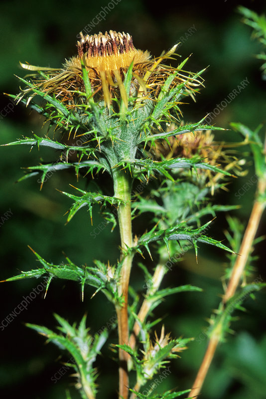 Carline thistle (Carline vulgaris)