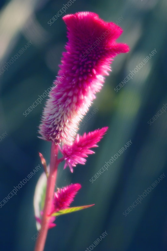 Flamingo feather (Celosia spicata)