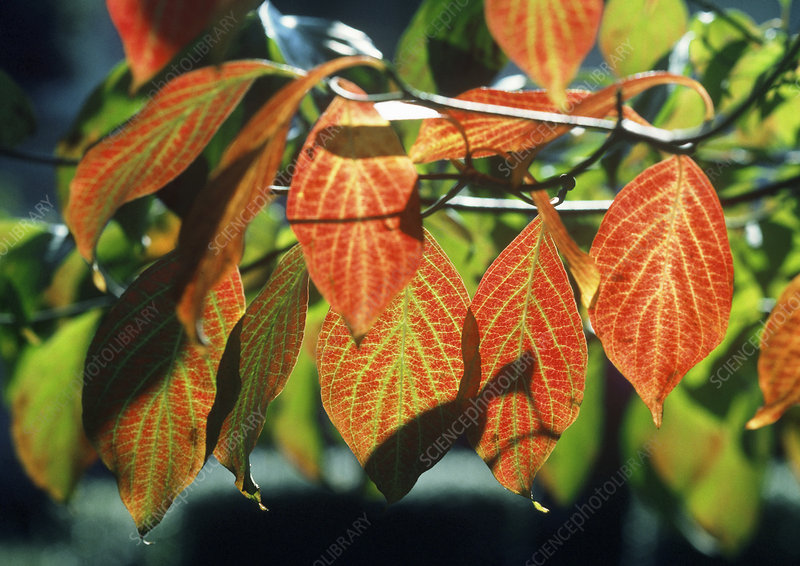 Dogwood leaves (Cornus sp.) in autumn