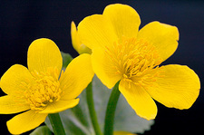 Marsh marigold (Caltha palustris)