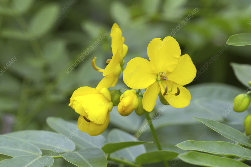 Cassia floribunda 'Pepper Tree'