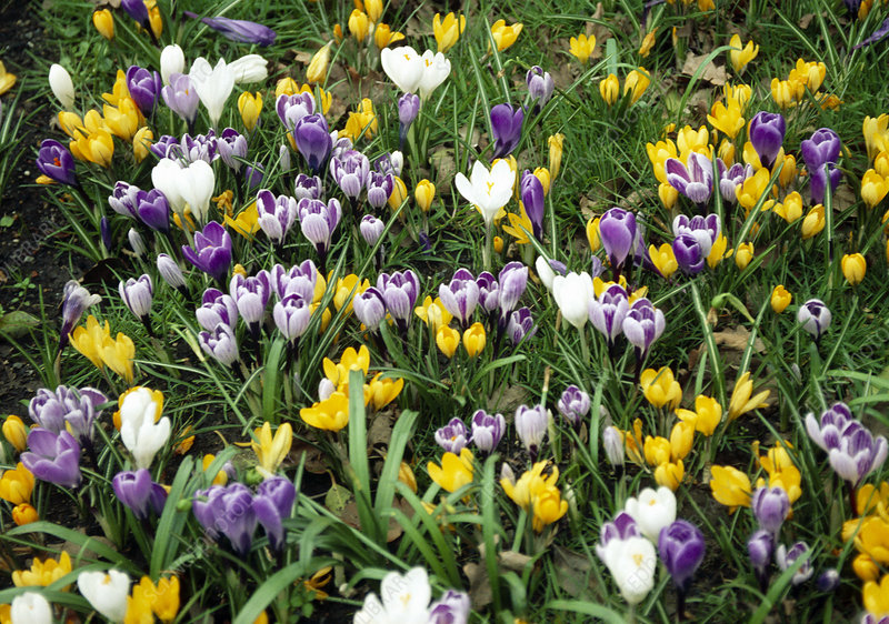 Crocuses (Crocus sp.)