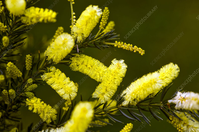 Lemon bottlebrush (Callistemon pallidus)