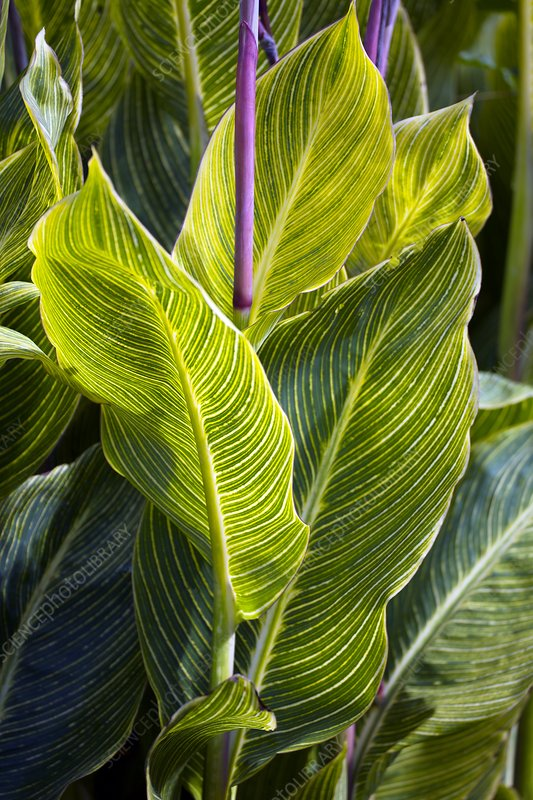 Indian shot plant (Canna 'Striata')