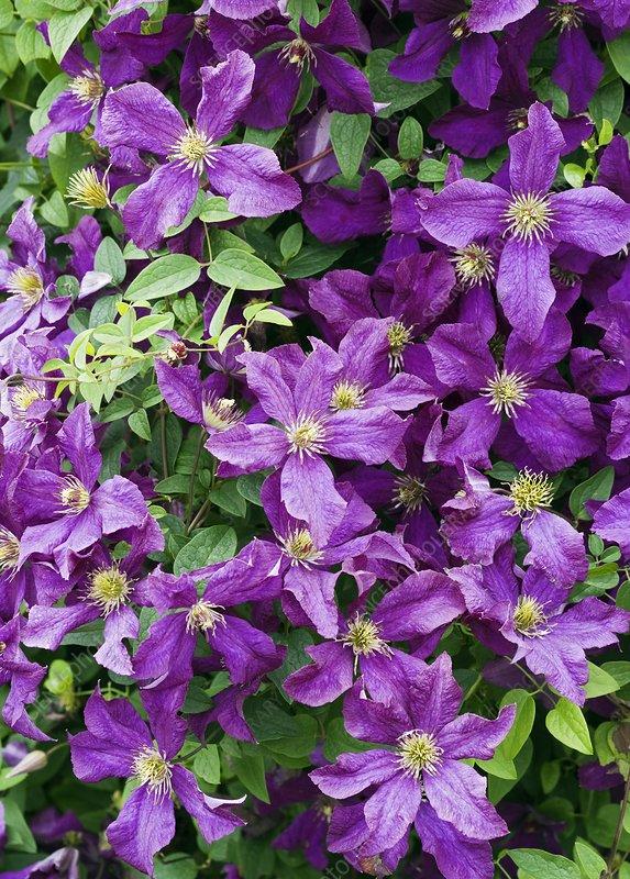 clematis 39 etoile violette 39 stock image b804 4553. Black Bedroom Furniture Sets. Home Design Ideas