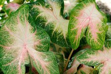 Angel wings (Caladium 'Kathleen')