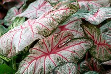 Angel wings (Caladium bicolor 'Rosebud')