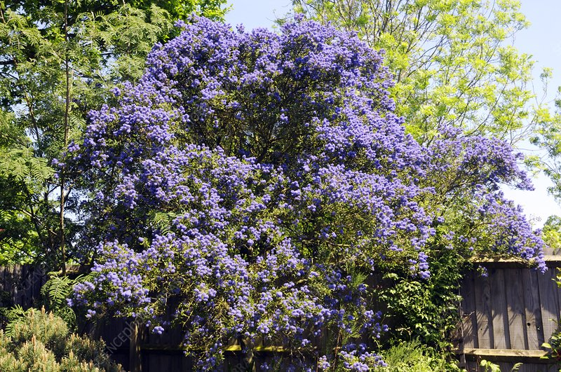 California lilac 'Concha' tree