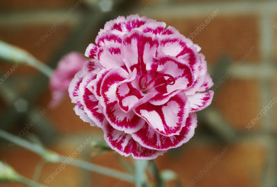Dianthus TAMSIN.