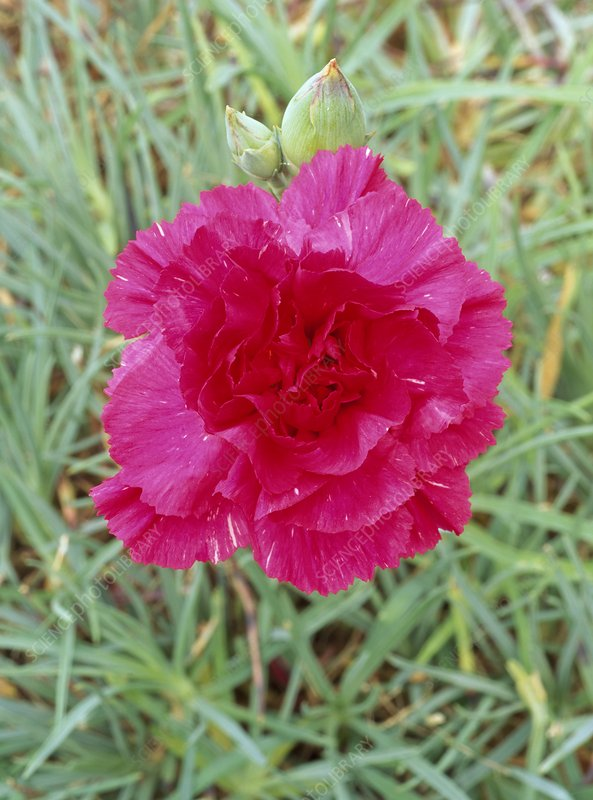 Dianthus Rose Joy