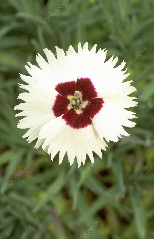 Dianthus Starry Eyes